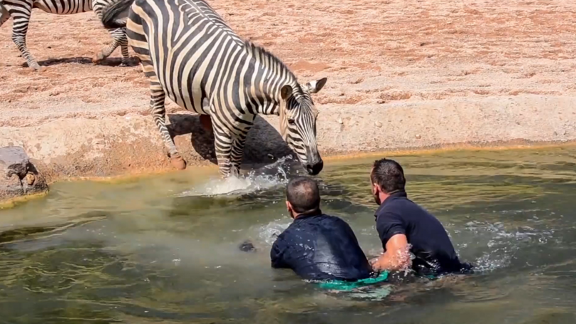Baby Zebra almost drowned! Rescued by The Heroic Zookeepers from Water Hole [VIDEO]