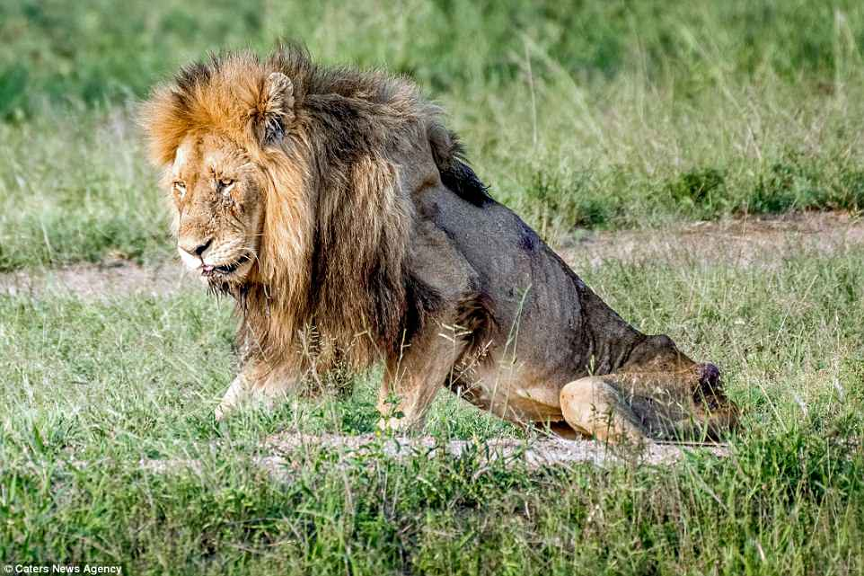 Old Lion Starved to Death. His Pride Casted him Out. This was His Destiny after 20 Years of  Regency.