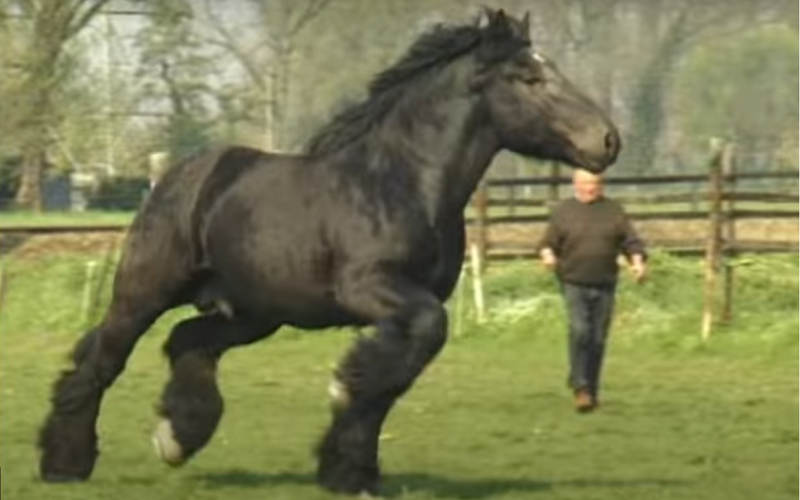 Belgian draft horse shows amazing movements [VIDEO].