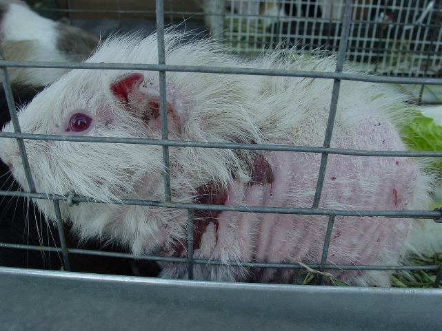 SHOCKING! 48 guinea pigs kept in inappropriate conditions.