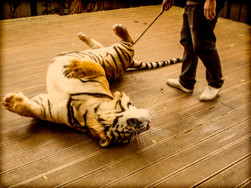 BIG CATS for human entertainment?