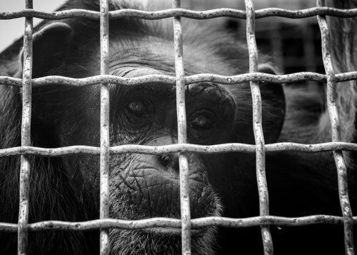 NEW COVID-19 PROBLEM: Shortage of Monkeys in Labs