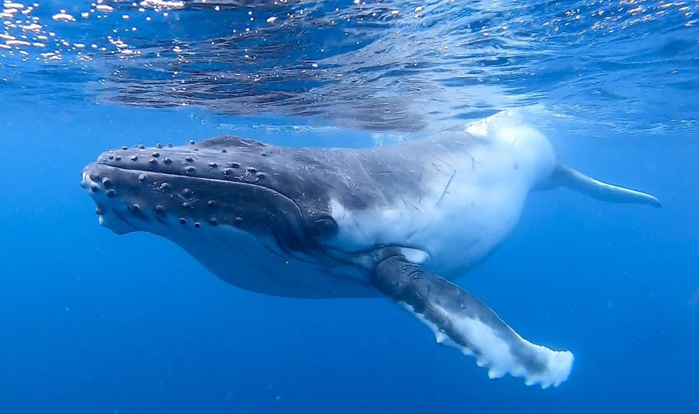 A CHANCE TO LIVE – Endangered Humpback Whales
